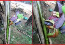 காரைதீவில் விசித்திர வாழை மரம்